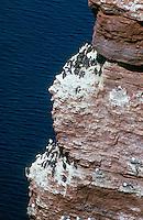 Trottellumme, brütend am Vogelfelsen von Helgoland, Lumme, Lummenfelsen, Uria aalge, guillemot, common murre