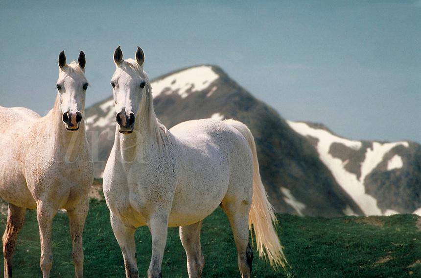 White Arabian mares stand with snow capped mountain peak as background. horse, horses, photo montage, animals, special effects.