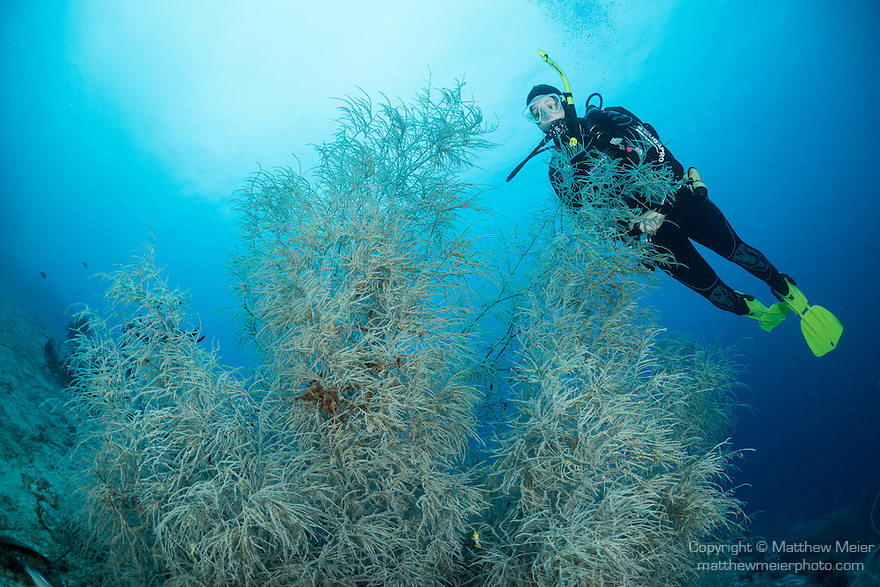 Anda, Bohol, Philippines; a scuba diver swimming over a large aggregation of black corals growing out of the sea floor