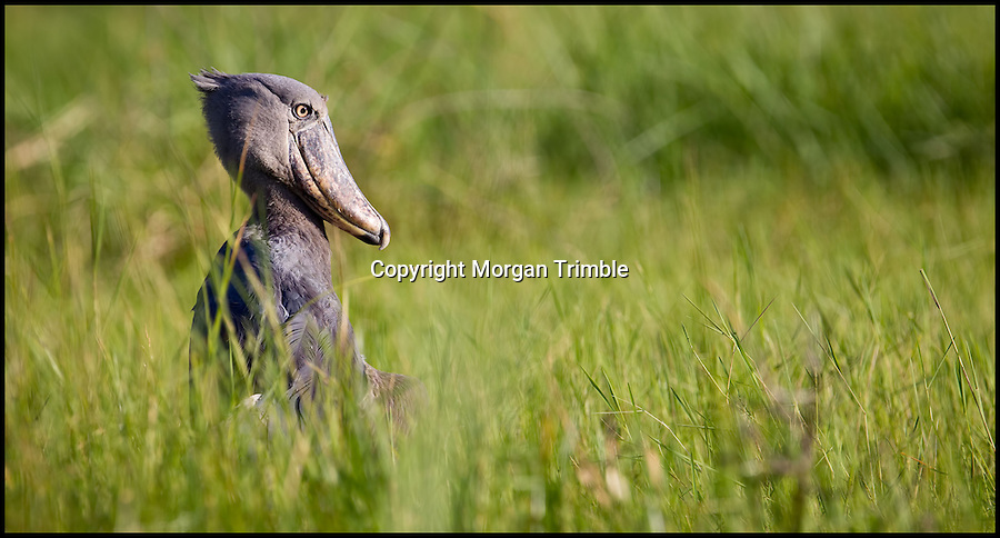 BNPS.co.uk (01202 558833).Pic: MorganTrimble/BNPS..***Please Use Full Byline***..Hunting in the long grass - as the odd looking bird tries to get used to life in the wild...The comical moments a bizarre-looking shoebill bird tries to familiarise itself with its new surroundings after being released into the wild have been captured on camera...The pre-historic looking creature only lives in a handful of countries in the world and rarely interacts with humans...But this 4ft tall specimen has been hand-reared in captivity by conservationists since it was rescued from poachers as a chick...So when the one-year-old female shoebill was freed she was naturally inquisitive of anything or anyone she came across...University student Morgan Trimble photographed the bird trying to eat her metal camera tripod as well as hunting for food by emptying a fisherman's net of his catch...The shoebill also took in her new-found freedom by standing on top of a 45ft tall tree to survey the vast African swamplands around her..