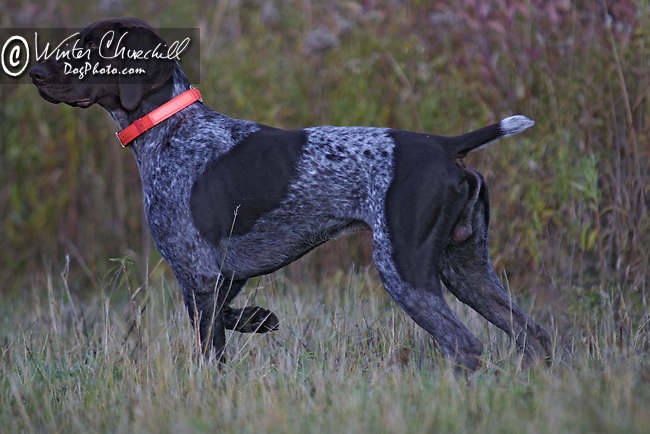German Shorthaired Pointer Shopping cart has 3 Tabs:<br />