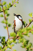 chestnut-sided warbler, Setophaga pensylvanica, singing, Nova Scotia, Canada