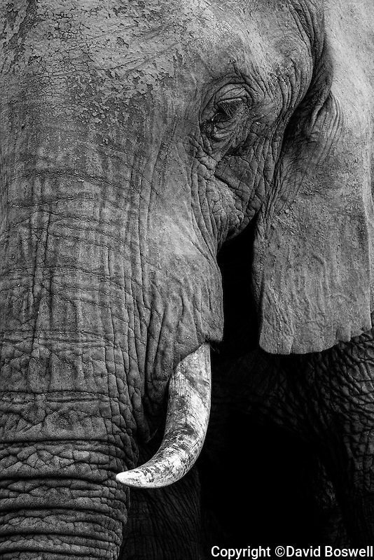 A close-up of an elephant tusk and trunk in the Wild Horzons Wildlife Sanctuary near Victoria Falls, Zimbabwe in East Africa.