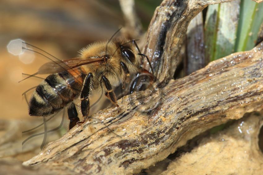 A bee drinking. A hive needs 4 to 5 litres of water per day.///Abeille en train de boire. Une ruche a besoin de 4 à 5 litres d'eau par jour.