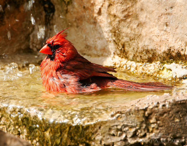 Northern cardinal adult male bathing