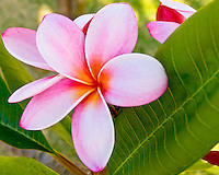 Pink and white plumeria with broad green leaf