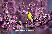 01640-15805 American Goldfinch (Carduelis tristis) male in Eastern Redbud (Cercis canadensis) in spring, Marion Co., IL