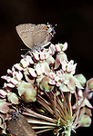 Banded hairstreak butterfly Satyrium calanus falacer