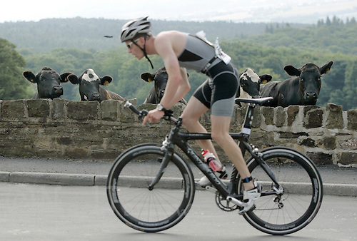 08 JUL 2007 - WAKEFIELD, GBR - Cows watch a competitor climb the road into High Hoyland - British Age Group Triathlon Championships. (PHOTO (C) NIGEL FARROW)