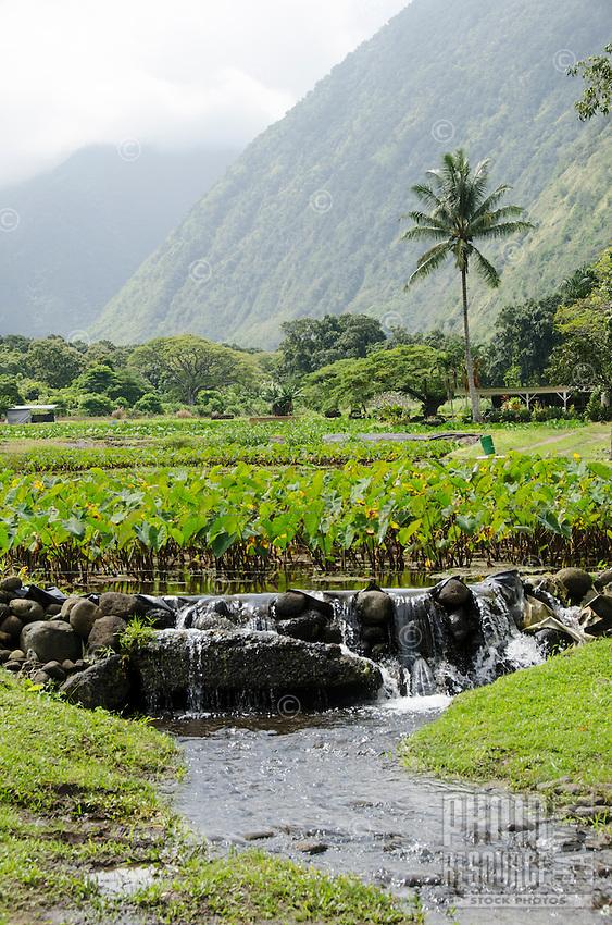 Kalo (or taro) plants, a native Hawaiian staple food, grows in the back of Waipi'o Valley, Hamakua District, Island of Hawai'i.