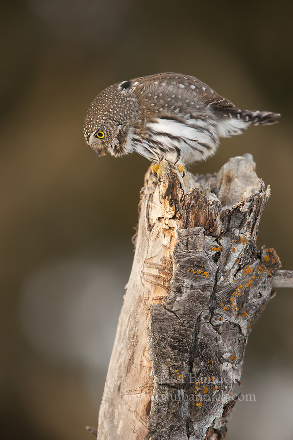 A Northern Pygmy-Owl hunts from the top of a small snag.