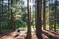 Sun sets through pine forest along the Metolius River in the Willamette National Forest near Sisters, Oregon.