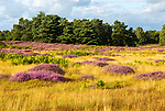 Heathland vegetation with heather in flower, Calluna vulgaris, Sutton Heath, Shottisham, Suffolk, England, UK