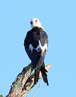 Juvenile swallow-tailed kite