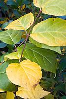 Calycanthus x raulstonii Hartlage Wine(hybrid C. floridus x C or Sinocalycanthus chinensis) fall foliage