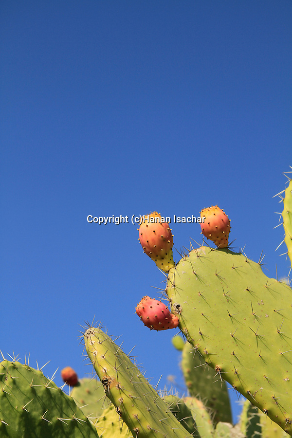 Israel, Lower Galilee, Prickly Pear on Mount Precipice