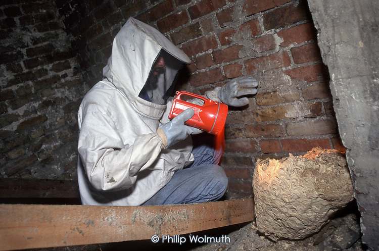 A local authority pest control officer inspects a wasp's nest in the attic of a house in Haringey, North London.
