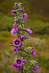 Purple flowers in bloom on Bushmallow tree mallow (Lavatera arborea) at Sutro Baths, San Francisco, California