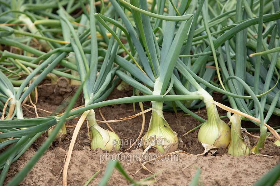 Mature onions - Lincolnshire, July