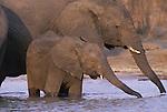 African elephants. Wild (Loxodonto africana) .