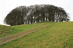 Beech trees on Furze Knoll, Morgan's Hill, North Wessex Downs, Wiltshire, England, UK