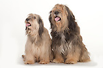 Catalan Sheepdog, Male & Female Sitting, Studio, White Background