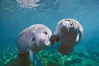 Florida manatee, Trichechus manatus latirostris, mother and calf, Crystal River, Florida, USA