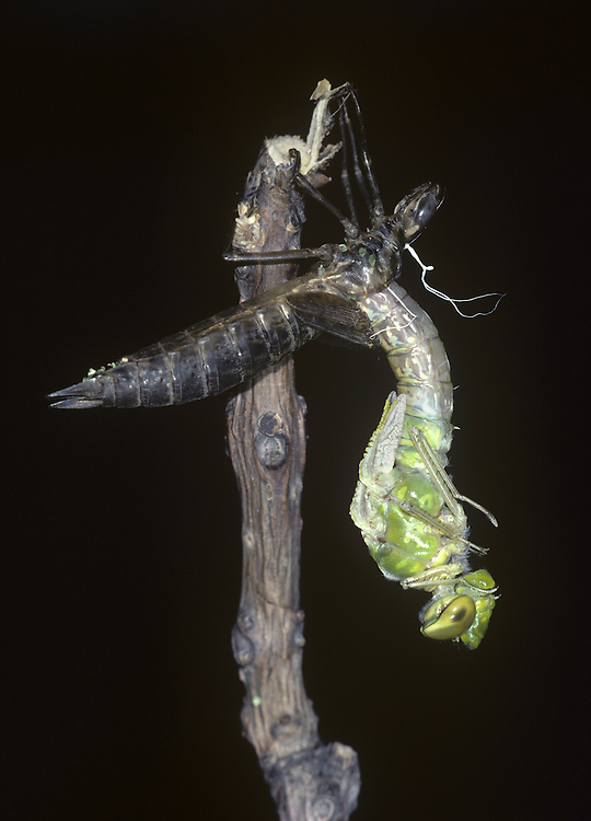 Emperor Dragonfly Emergence - Anax imperator