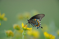 Pipevine Swallowtail (Battus philenor), adult, Sinton, Corpus Christi, Coastal Bend, Texas Coast, USA