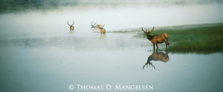 In a surrealistic setting of water and fog, three bull elk wade into the Yellowstone River in Yellowstone National Park, Wyoming.
