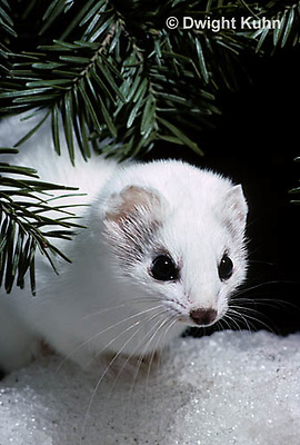 MA06-062x  Short-Tailed Weasel - ermine exploring forest for prey in winter - Mustela erminea