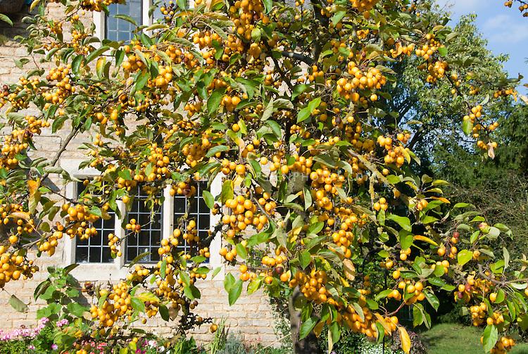 Malus 'Harvest Gold' crabapple | Plant & Flower Stock