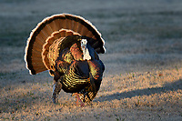 Tom Turkey strutting, San Angelo, Texas