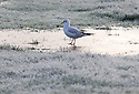 24/11/14<br /> <br /> A seagull walks on ice in the park in Ashbourne, Derbyshire, after temperatures plummet below freezing over-night.<br /> <br /> <br /> ***ANY UK EDITORIAL PRINT USE WILL ATTRACT A MINIMUM FEE OF £130. THIS IS STRICTLY A MINIMUM. USUAL SPACE-RATES WILL APPLY TO IMAGES THAT WOULD NORMALLY ATTRACT A HIGHER FEE .  PRICE FOR WEB USE WILL BE NEGOTIATED SEPARATELY***<br /> <br /> <br /> All Rights Reserved - F Stop Press.  www.fstoppress.com. Tel: +44 (0)1335 300098