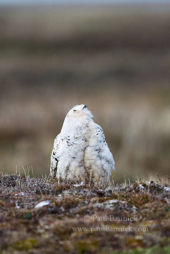 A Female Snowy Owl watches a Pomerine Jaeger to see if it is prepared to attack.