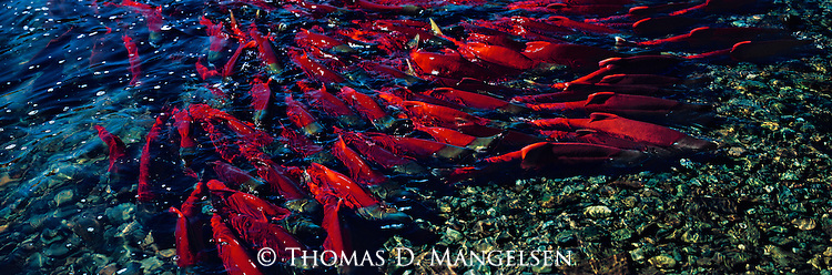 A group of sockeye salmon swim to the spawning beds on the Alaskan Peninsula.