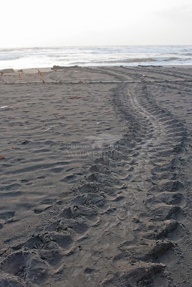 lederschildpad (Dermochelys coriacea) spoor op strand
