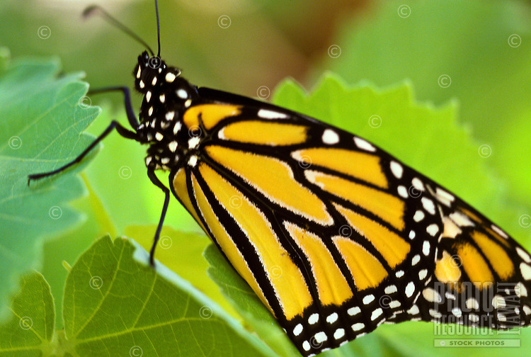 Monarch butterfly Danaus plexippus on leaf of endangered Abutilon menziesii