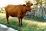 domestic animals on the streets of  Caribbean Island of St. Eustatious, Netherlands Antilles.