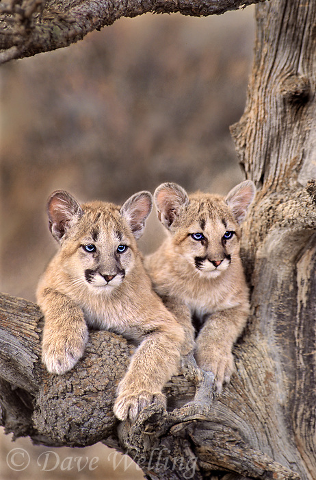 656326036 a pair of captive mountain lion cubs felis concolor sit in the notch of a tree staring out at their habitat in central montana