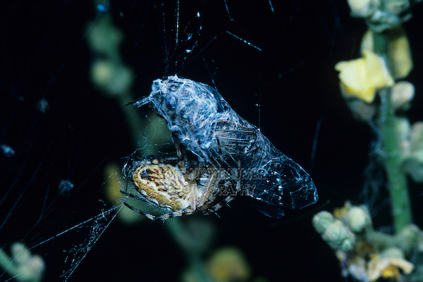 Spider, Araneus sp., adult with cicada as prey in web, Crau, France, May 1993