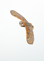 A barn owl flies over a marshland in search of mice and voles, its primary prey.<br /> Near Stanwood, Washington<br /> 8/28/2016