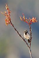 578670041 a wild male black-throated sparrow amphispiza bilineata perches on a flowering ocotillo foqueria splendens in the madera grasslands near madera canyon pima county arizona united states