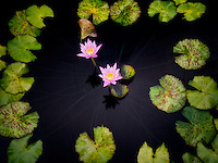 Blooms of water lilies circled by leaves. Oregon