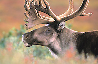 Male Caribou, Denali National Park, Alaska