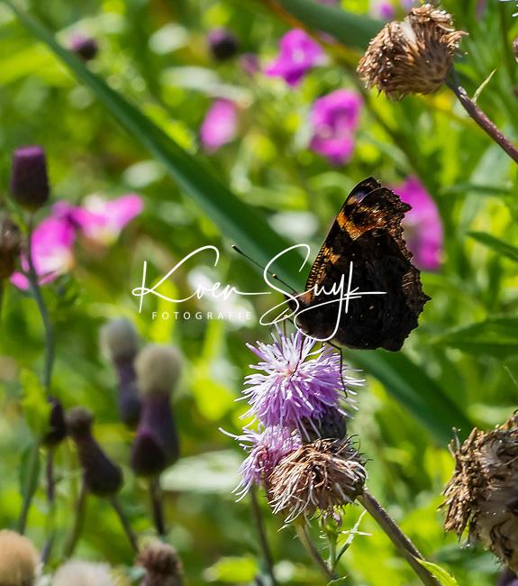 HALFWEG - insecten op de golfbaan , Dagpauwoog  Amsterdamse Golf Club. (AGC)  . Insecteninventarisatie  COPYRIGHT KOEN SUYK