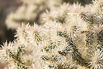 Tucson, Arizona; Silver Cholla (Cylindropuntia echinocarpa) spines in early morning sunlight, close-up