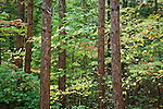 White pine and laurel, Erving State Forest, Erving, MA, USA
