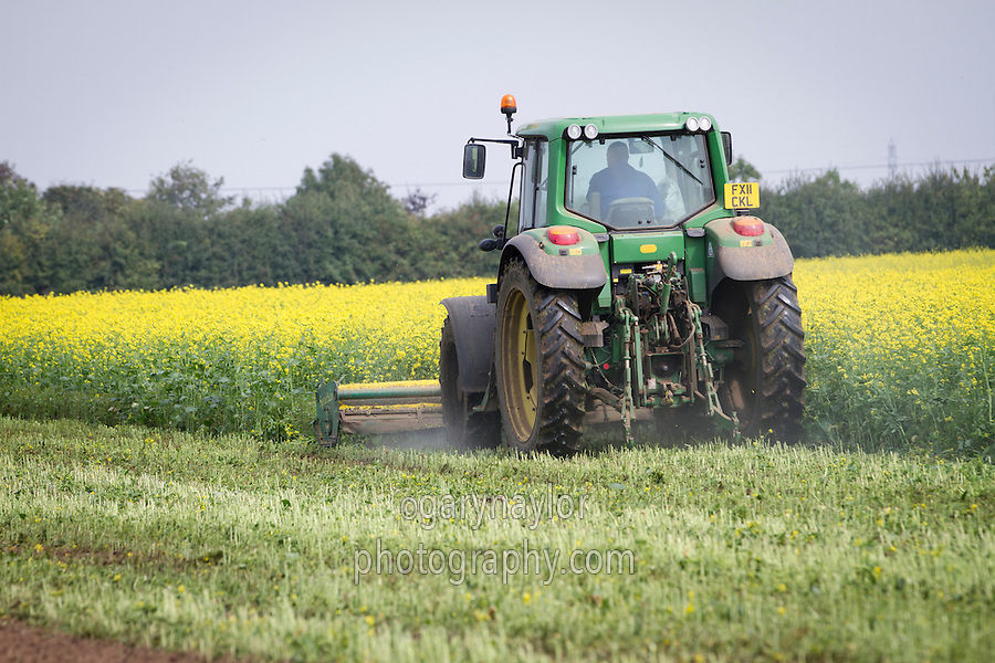 Biofumigant cover crop being chopped prior to incorporation to reduce PCN prior to cropping potatoes - September, Lincolnshire