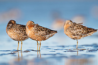 Short-billed Dowitchers (Limnodromus griseus) roosting on mudflats. Grays Harbor County, Washington. May.